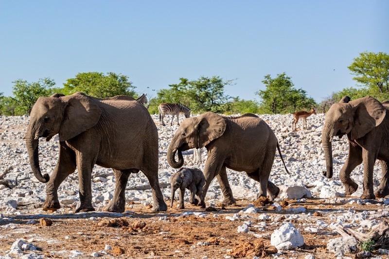 Eine Elefantenfamilie im Etosha Nationalpark in Namibia