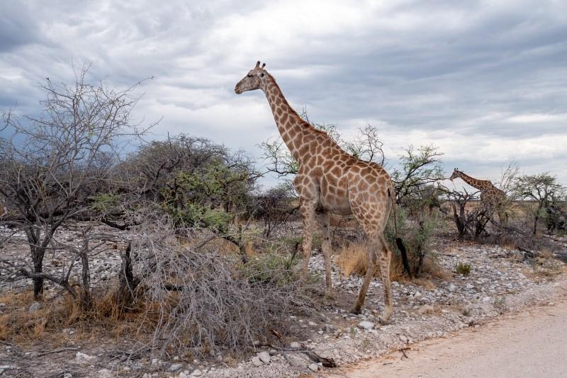 Giraffe am Straßenrand im Etosha Nationalpark in Namibia