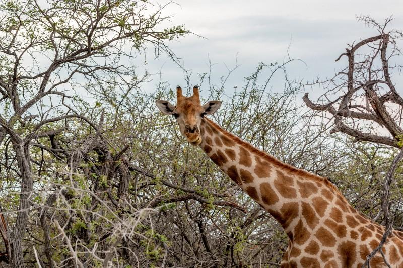 Giraffe im Etosha Nationalpark in Namibia