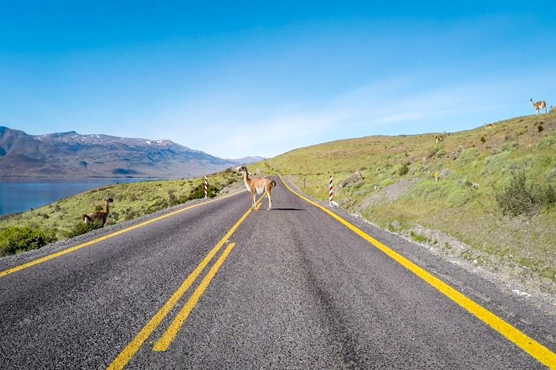 Guanaco auf der Straße im Torres del Paine