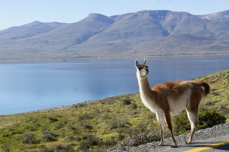 Guanaco - Torres del Paine in Chile