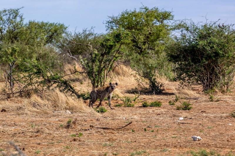 Hyäne im Etosha Nationalpark