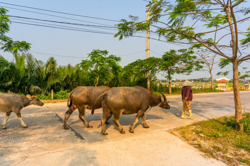 Kühe im Hinterland von Hoi An