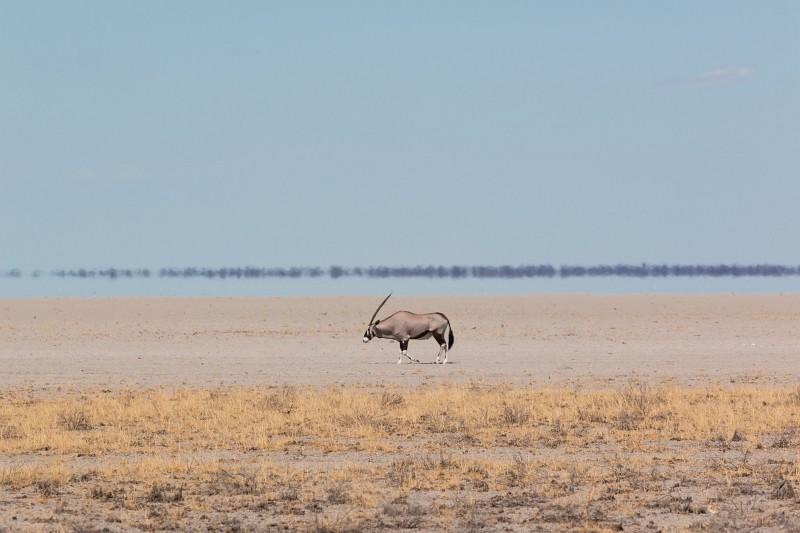Oryx Antilope alleine in der Steppe Namibias unterwegs