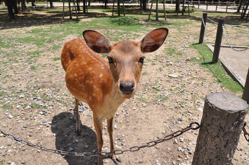 Ein heiliges Reh von Nara guckt neugierig in die Kamera