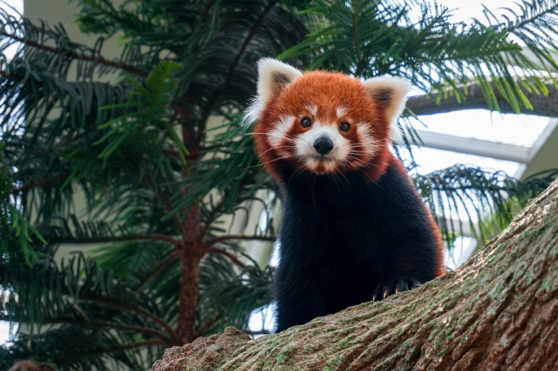 Roter Panda Singapur Zoo