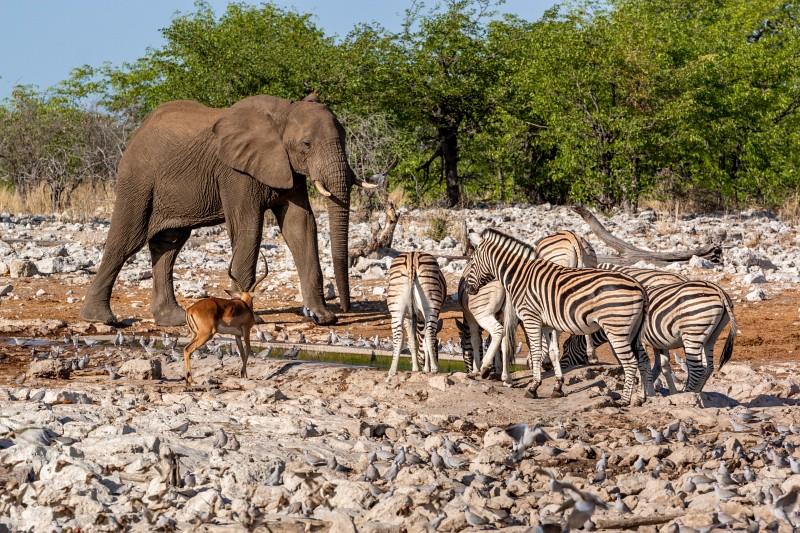 Ein Elefant, Zebras und Atilopen im Etosha Nationalpark an einem Wasserloch in Namibia