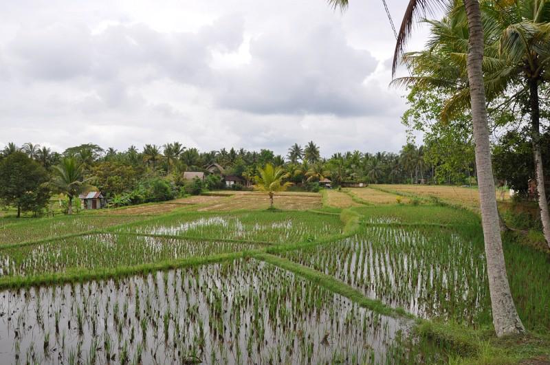 Wanderung durch Reisfelder